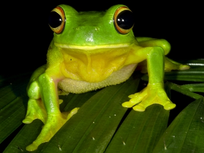 Daintree Rainforest frogs