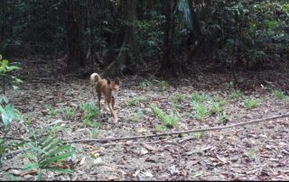 cassowaries, dingoes & feral-pigs